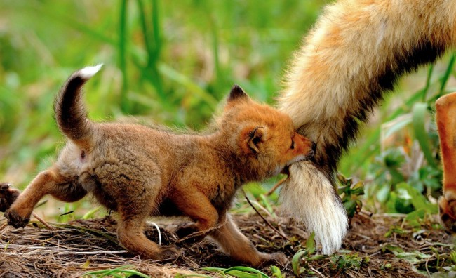 Funny picture  about fox