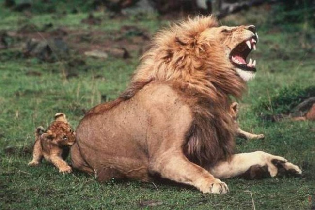 Lion bite human