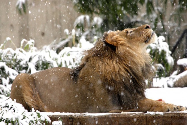 Funny picture  about lion and winter