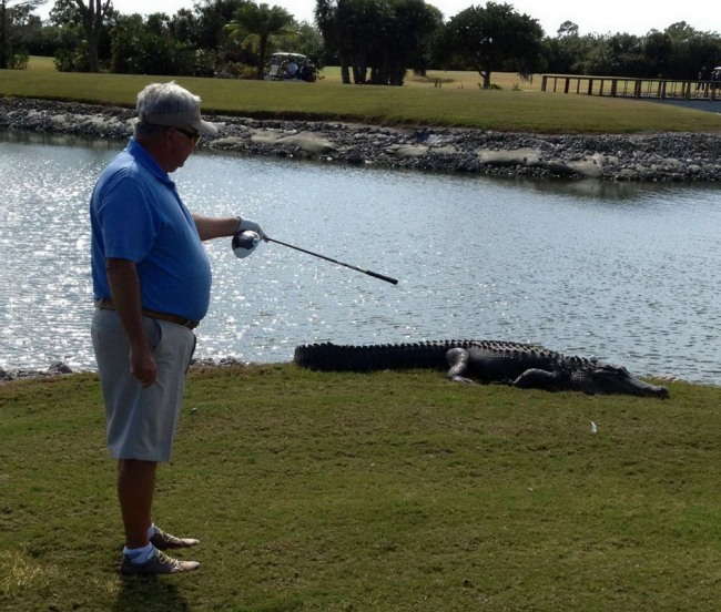 Funny picture  about golf and crocodile