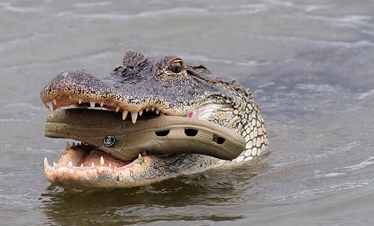 Funny picture  about crocodile